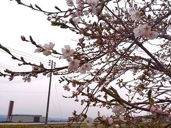 岩手 矢巾町 桜開花 アメリカ雑貨屋 サンブリッヂ 雑貨通販