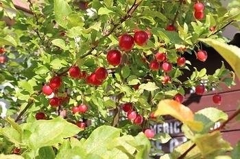 姫リンゴ 姫りんご 岩手雑貨屋 アメリカン雑貨 アメリカ雑貨屋 SUNBRIDGE