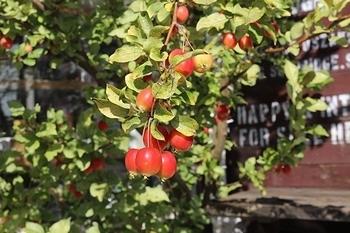 姫りんご アメリカ雑貨屋 SUNBRIDGE サンブリッヂ矢巾 岩手