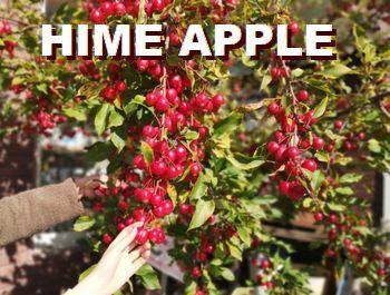 ハロウィン 姫リンゴ アメリカ雑貨屋 アメリカン雑貨 サンブリッヂ  岩手 雑貨屋 アメリカ雑貨通販 矢巾町